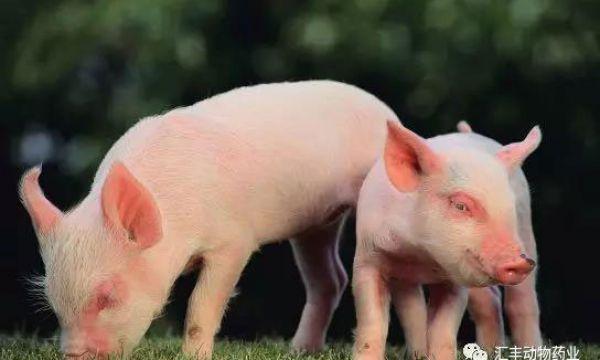 猪腹泻病毒系列——猪嵴病毒