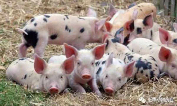 围产期母猪产前产后如何饲喂护理 综合症如何防治