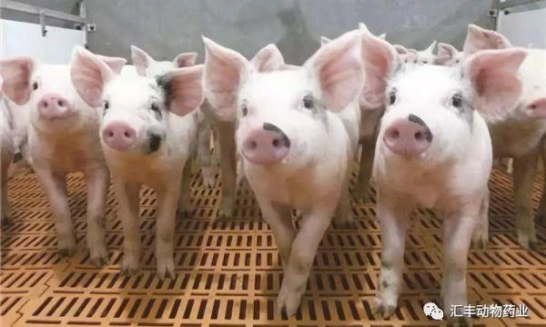开春时节猪塞内卡病毒病的防控