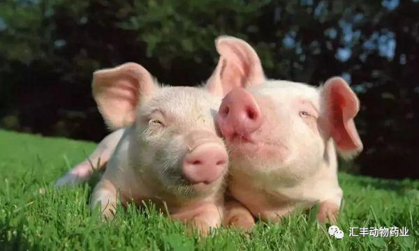 如何提高母猪的生产性能