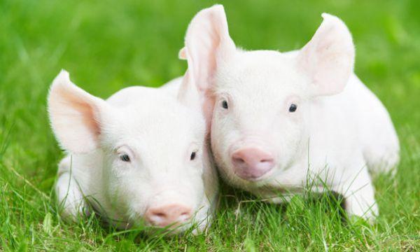 猪群发生猪瘟、蓝耳、无名高热不要慌,它们的克星来啦
