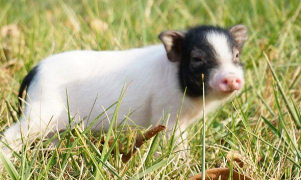 恩诺沙星在猪病防控方面的妙用