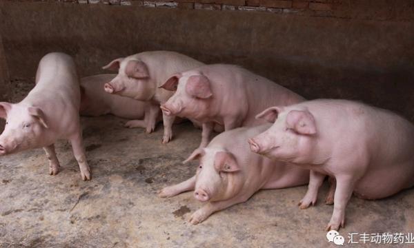 非洲猪瘟后的复养与保健
