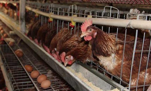 一例蛋鸡感染禽多杀性巴氏杆菌的诊断