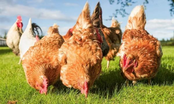 鸡传染性法氏囊病
