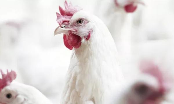 肉鸡呼吸道症状的发展规律及防治方法