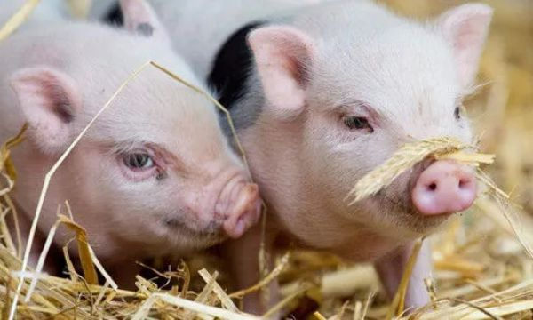 浅谈非瘟对养殖业的影响