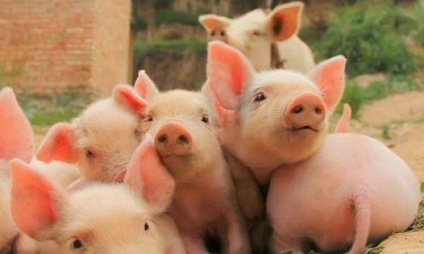 2020年养猪行情