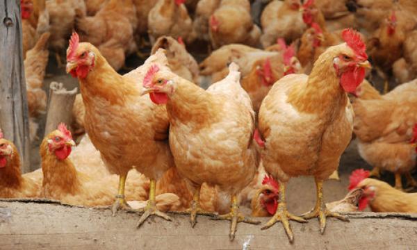 中国肉鸡养殖行业新常态