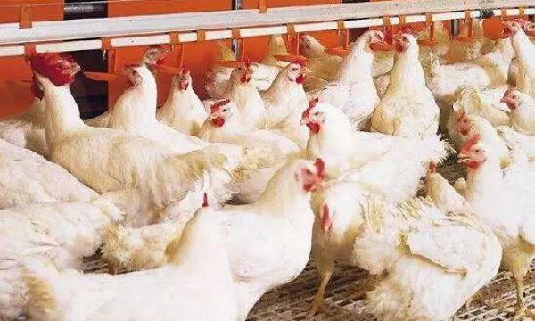 中国肉鸡养殖行业发展前景