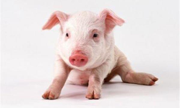 猪蓝耳病防控建议(一)