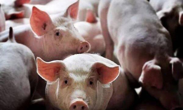 猪蓝耳病防控建议(二)