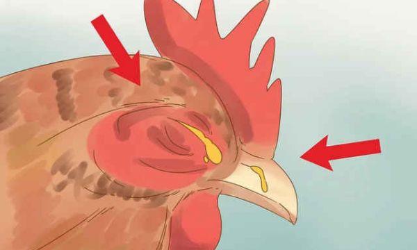 鸡传染性鼻炎