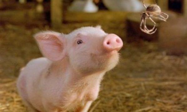 猪繁殖与呼吸综合征的流行病学研究