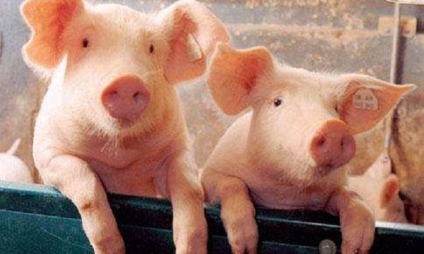 你知道圆环病毒对各阶段猪只有哪些影响吗?